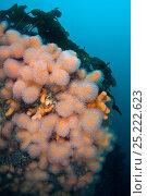 Купить «Orange deadman's fingers (Alcyonium digitatum) grow on the side of a boulder beneath kelp. Gardur, south west Iceland. North Atlantic Ocean.», фото № 25222623, снято 18 сентября 2018 г. (c) Nature Picture Library / Фотобанк Лори