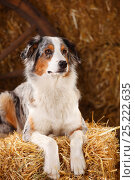 Australian Shepherd, bitch, with blue merle colouration, in straw. Стоковое фото, фотограф Petra Wegner / Nature Picture Library / Фотобанк Лори