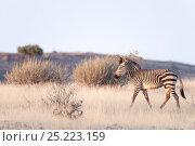 Hartmann's Mountain Zebra (Equus hartmannae) Damaraland, Namibia. Стоковое фото, фотограф Ben Cranke / Nature Picture Library / Фотобанк Лори