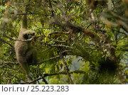 Купить «Western Hoolock Gibbon (Hoolock hoolock) Gaoligongshan NP, Yunnan province, China», фото № 25223283, снято 21 февраля 2019 г. (c) Nature Picture Library / Фотобанк Лори