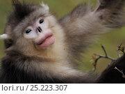 Купить «Yunnan Snub-nosed monkey (Rhinopithecus bieti) Ta Chen NP, Yunnan province, China», фото № 25223307, снято 22 января 2019 г. (c) Nature Picture Library / Фотобанк Лори