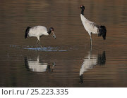 Купить «Black-necked cranes (Grus nigricollis) feeding, Napa Lake, Yunnan province, China. Vulnerable species.», фото № 25223335, снято 20 июля 2019 г. (c) Nature Picture Library / Фотобанк Лори