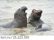 Northern Elephant seal (Mirounga angustirostris) males fighting, California, USA. Стоковое фото, фотограф Inaki Relanzon / Nature Picture Library / Фотобанк Лори