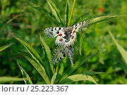 Купить «Parnassian Nomion (Parnassius nomion) butterflies mating,  Central Sikhote-Alin, Primorskiy krai, The Far East, Russia, July 2011», фото № 25223367, снято 14 ноября 2018 г. (c) Nature Picture Library / Фотобанк Лори