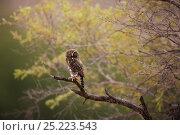 Pearlspotted Owl (Glaucidium perlatum) on branch, Kgalagadi, South Africa. Стоковое фото, фотограф RICHARD DU TOIT / Nature Picture Library / Фотобанк Лори