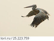 Купить «Spot-billed Pelican (Pelecanus philippinensis) in flight, Pulicat Lake, Tamil Nadu, India, January 2013.», фото № 25223759, снято 25 марта 2019 г. (c) Nature Picture Library / Фотобанк Лори