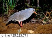 Купить «Kagu (Phynochetos jubatus) at night, New Caledonia. Endangered and endemic», фото № 25223771, снято 20 июля 2019 г. (c) Nature Picture Library / Фотобанк Лори