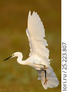 Купить «Little egret (Egretta garzetta) in flight, Pulicat Lake, Tamil Nadu, India, January 2013.», фото № 25223807, снято 14 июля 2020 г. (c) Nature Picture Library / Фотобанк Лори
