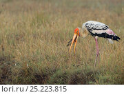 Купить «Painted stork (Mycteria leucocephala) feeding on fish, Pulicat Lake, Tamil Nadu, India, January 2013.», фото № 25223815, снято 22 февраля 2019 г. (c) Nature Picture Library / Фотобанк Лори