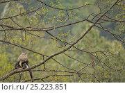 Купить «Yunnan Snub-nosed monkey (Rhinopithecus bieti) in tree, Ta Chen NP, Yunnan province, China», фото № 25223851, снято 22 января 2019 г. (c) Nature Picture Library / Фотобанк Лори