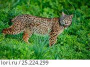 Купить «Wild Iberian Lynx (Lynx pardinus) male, Sierra de Andujar Natural Park, Jaen, Andalucia, Spain», фото № 25224299, снято 17 сентября 2018 г. (c) Nature Picture Library / Фотобанк Лори