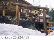 Купить «Three Moose (Alces alces) eating grass in front of a sign for Moosehaven, Wyoming, USA, January.», фото № 25224435, снято 26 мая 2018 г. (c) Nature Picture Library / Фотобанк Лори