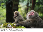 Купить «Yaku-shima macaque (Macaca fuscata yakui) dominant female and baby, Yakushima UNESCO World Heritage Site, Kagoshima, Japan, September», фото № 25224627, снято 16 июля 2018 г. (c) Nature Picture Library / Фотобанк Лори