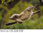 Купить «Yunnan Snub-nosed monkey (Rhinopithecus bieti) jumping from tree to tree, Ta Chen NP, Yunnan province, China», фото № 25224939, снято 18 июля 2019 г. (c) Nature Picture Library / Фотобанк Лори