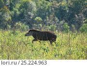 Brazilian Tapir (Tapirus terrestris) walking through habitat,  Emas National Park, Goias State, Cerrado region, Central Brazil. Стоковое фото, фотограф Luiz Claudio Marigo / Nature Picture Library / Фотобанк Лори