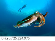 Купить «Scuba diver and Common Cuttlefish (Sepia officinalis) The Cave dive site, Vis Island, Croatia, Adriatic Sea, Mediterranean», фото № 25224975, снято 23 января 2018 г. (c) Nature Picture Library / Фотобанк Лори