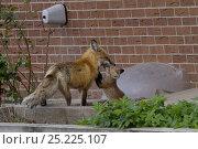 Купить «Red fox (Vulpes vulpes) cub playing with its parent near a house, Denver, Colorado, USA, April.», фото № 25225107, снято 21 ноября 2019 г. (c) Nature Picture Library / Фотобанк Лори
