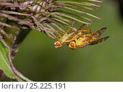 Купить «Tephritid Flies (Terellia tussilaginis) mating on thistle, Lewisham, London, July», фото № 25225191, снято 19 октября 2019 г. (c) Nature Picture Library / Фотобанк Лори