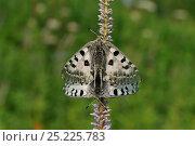 Купить «Parnassian Nomion (Parnassius nomion) butterflies mating,  Central Sikhote-Alin, Primorskiy krai, The Far East, Russia, July 2011», фото № 25225783, снято 14 ноября 2018 г. (c) Nature Picture Library / Фотобанк Лори