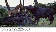 Купить «Male lion (Panthera leo) in confrontation with Cape buffalo (Syncerus caffer). Masai Mara National Reserve, Kenya, July», фото № 25226007, снято 17 августа 2018 г. (c) Nature Picture Library / Фотобанк Лори