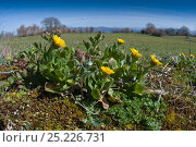 Купить «Field Marigold (Callendula arvensis) in flower, near Sugano, Orvieto, Italy, September», фото № 25226731, снято 22 сентября 2018 г. (c) Nature Picture Library / Фотобанк Лори