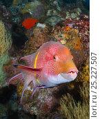 Купить «Mexican Hogfish (Bodianus diplotaenia) male. Galapagos Islands, Ecuador, Pacific Ocean.», фото № 25227507, снято 22 марта 2019 г. (c) Nature Picture Library / Фотобанк Лори