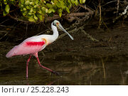 Купить «Roseate spoonbill (Platalea ajaja) adult in breeding plumage hunting in marine vegetation at low tide, at edge of Red mangroves (Rhizophora mangle), Pinellas County, Florida, USA, January, non-ex», фото № 25228243, снято 22 марта 2019 г. (c) Nature Picture Library / Фотобанк Лори