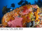 Купить «Boulder covered with sponges, bryozoans, and kelp. Poor Knights Islands Marine Reserve, New Zealand, Pacific Ocean.», фото № 25228303, снято 18 сентября 2018 г. (c) Nature Picture Library / Фотобанк Лори