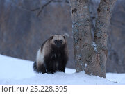 Купить «Wolverine (Gulo gulo) portrait at dusk. Kronotsky Zapovednik Nature Reserve, Kamchatka Peninsula, Russian Far East, March.», фото № 25228395, снято 20 августа 2019 г. (c) Nature Picture Library / Фотобанк Лори