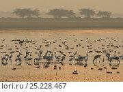 Купить «Spot-billed Pelican (Pelecanus philippinensis) Great white egret (Casmerodius albus) Little egret (Egretta garzetta) Eurasian flamingo, (Phoenicopterus...», фото № 25228467, снято 24 января 2019 г. (c) Nature Picture Library / Фотобанк Лори