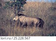 Brazilian Tapir (Tapirus terrestris) Emas National Park, Goiais State, Cerrado region, Central Brazil. Стоковое фото, фотограф Luiz Claudio Marigo / Nature Picture Library / Фотобанк Лори