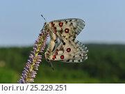 Купить «Parnassian Nomion (Parnassius nomion) butterflies mating,  Central Sikhote-Alin, Primorskiy krai, The Far East, Russia, July 2011», фото № 25229251, снято 14 ноября 2018 г. (c) Nature Picture Library / Фотобанк Лори