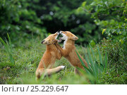 Купить «Juvenile Red Foxes (Vulpes vulpes) play fighting. Kronotsky Zapovednik Nature Reserve, Kamchatka Peninsula, Russian Far East, July.», фото № 25229647, снято 20 августа 2019 г. (c) Nature Picture Library / Фотобанк Лори