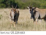 Cape eland (Taurotragus oryx) males, Masai-Mara game reserve, Kenya. Стоковое фото, фотограф Denis-Huot / Nature Picture Library / Фотобанк Лори