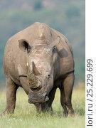 Купить «White rhino (Ceratotherium simum) Nakuru National Park, Kenya», фото № 25229699, снято 18 августа 2018 г. (c) Nature Picture Library / Фотобанк Лори