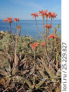 Купить «Soap Aloe (Aloe maculata / saponaria) flowering on a clifftop with the sea in the background.  Algarve, Portugal, June.», фото № 25229827, снято 15 декабря 2017 г. (c) Nature Picture Library / Фотобанк Лори