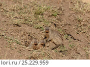 Купить «Banded mongoose (Mungos mungo) at burrow entrance, Masai-Mara game reserve, Kenya», фото № 25229959, снято 5 августа 2020 г. (c) Nature Picture Library / Фотобанк Лори