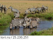 Grant's zebra (Equus burchelli boehmi) drinking, Masai Mara, Kenya. Стоковое фото, фотограф Denis-Huot / Nature Picture Library / Фотобанк Лори