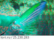 Купить «Pectoral fin of Bridled parrotfish (Scarus frenatus), Maldives, Indian Ocean», фото № 25230283, снято 10 июля 2020 г. (c) Nature Picture Library / Фотобанк Лори