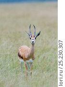 Grant's gazelle (Nager granti) nakuru national park, Kenya. Стоковое фото, фотограф Denis-Huot / Nature Picture Library / Фотобанк Лори