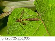 Купить «Spotted Crane-flies mating (Nephrotoma quadrifaria) Lewisham, London, June», фото № 25230935, снято 19 октября 2019 г. (c) Nature Picture Library / Фотобанк Лори