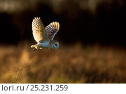Barn Owl (Tyto alba) in flight. UK, Europe. Стоковое фото, фотограф Andy Rouse / Nature Picture Library / Фотобанк Лори