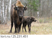 Купить «European Bison (Bison bonasus) calf and mother portrait. 'Mefody', first calf born to reintroduced herd in Bryansk Forest. Bryansk Forest Zapovednik, Kamchatka, Russian Far East, May.», фото № 25231451, снято 20 августа 2019 г. (c) Nature Picture Library / Фотобанк Лори