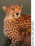 Купить «Cheetah (Acinonyx jubatus) female, Masai-Mara Game Reserve, Kenya. Vulnerable species.», фото № 25231551, снято 15 июля 2020 г. (c) Nature Picture Library / Фотобанк Лори