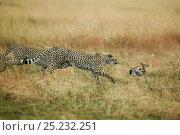 Купить «Cheetahs (Acinonyx jubatus) chasing young Thomson's Gazelle (Eudorcas thomsoni) Masai Mara, Kenya», фото № 25232251, снято 15 июля 2020 г. (c) Nature Picture Library / Фотобанк Лори