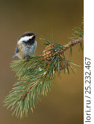 Siberian tit (Parus cictus) perched on conifer branch, Northern Finland, March. Bookplate from Danny Green's 'The Long Journey North' Стоковое фото, фотограф Danny Green / Nature Picture Library / Фотобанк Лори