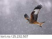 Red kite (Milvus milvus) in flight in the snow, Wales, February. Bookplate from Danny Green's 'The Long Journey North' Стоковое фото, фотограф Danny Green / Nature Picture Library / Фотобанк Лори