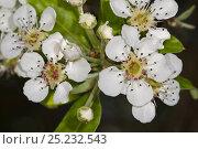Купить «Almond-leaved Pear (Pyrus amygdaliformis) blossom, Uccellini Hills, Tuscany, Italy, April», фото № 25232543, снято 15 декабря 2017 г. (c) Nature Picture Library / Фотобанк Лори