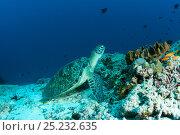 Купить «Green sea turtle (Chelonia mydas) on ocean floor, Maldives, Indian Ocean, Endangered species.», фото № 25232635, снято 18 июня 2019 г. (c) Nature Picture Library / Фотобанк Лори