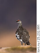 Ptarmigan (Lagopus mutus) male in summer plumage stood on rock, Scotland, May. Bookplate from Danny Green's 'The Long Journey North' Стоковое фото, фотограф Danny Green / Nature Picture Library / Фотобанк Лори